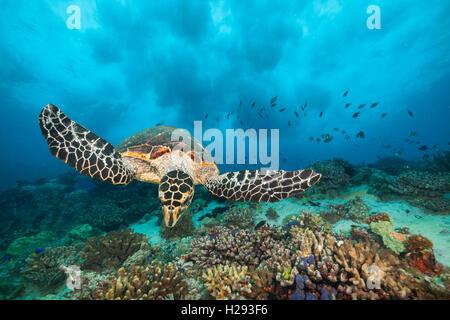 Hawksbill Sea Turtle flowing in Indian ocean - Stock Photo