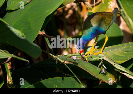A purple gallinule,Porphyrio martinicus, nibbles on a favorite treat - flowers of the aquatic Fire Flag or Alligator - Stock Photo