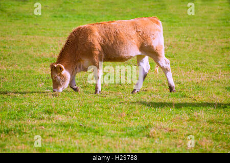 Cows grazing in Pyrenees green autumn meadows at Spain - Stock Photo