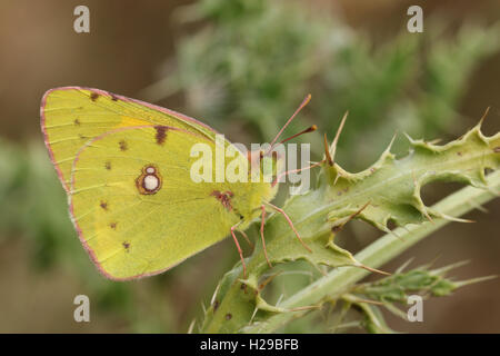 Clouded yellow Butterfly (Colias croceus) perched on a thistle leaf. - Stock Photo
