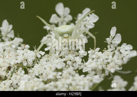 Crab Spider (Misumena vatia) waiting on a flower to catch its prey. - Stock Photo