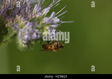 Honey Bee (Apis) on a Flower. - Stock Photo