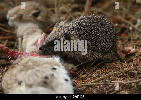 Hedgehog (Erinaceidae) feeding on a Stoats kill of a Wild Rabbit. - Stock Photo
