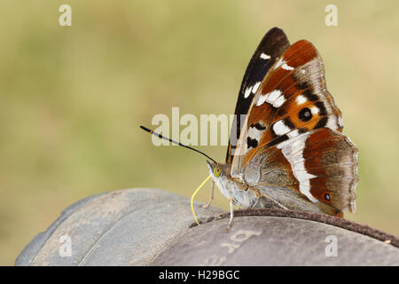 Purple Emperor (Apatura iris) Butterfly feeding from the minerals on a Boot. - Stock Photo