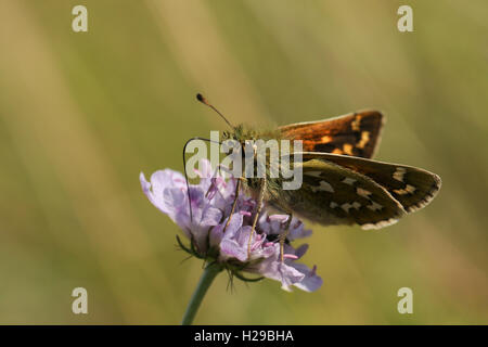 Silver Spotted Skipper Butterfly (Hesperia comma) feeding from a scabious flower. - Stock Photo