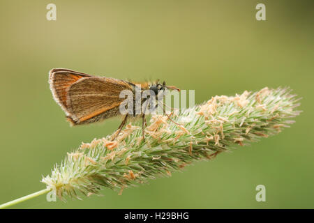 A Small Skipper Butterfly ( Thymelicus sylvestris) perched on a grass head. - Stock Photo