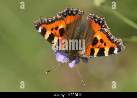 Small Tortoishell Butterfly (Aglais urticae) feeding from a flower. - Stock Photo