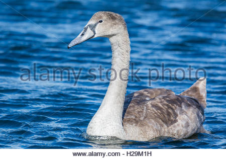 White Mute swan cygnet (cygnus olor) swimming on a choppy blue lake. - Stock Photo