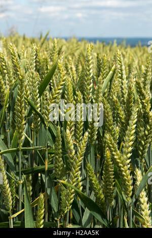 Winter wheat crop in green unripe ear on a fine summer day, Berkshire, July - Stock Photo