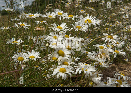 Ox-eye daisies, Leucanthemum vulgare, flowering along a fence, Berkshire, July - Stock Photo