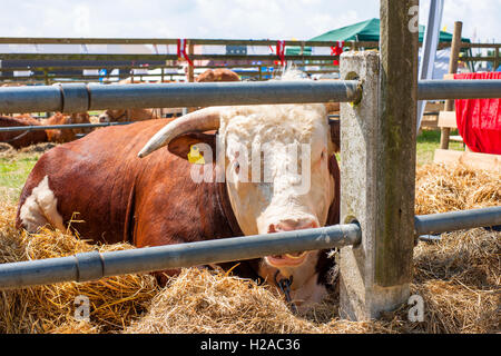 Hereford bull resting in hay behind a fence - Stock Photo