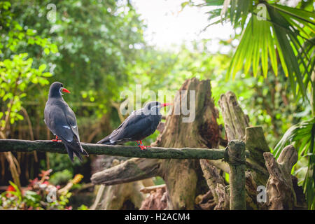 Inca tern on a fence in a tropical jungle - Stock Photo