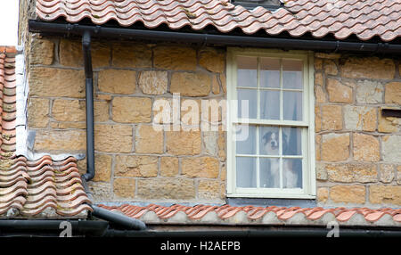 Border collie looking out of a window - Stock Photo