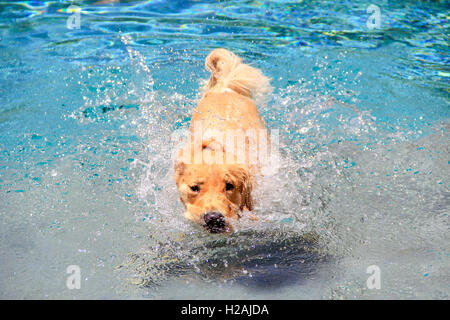 Golden Retriever puppy cooling off in a swimming pool - Stock Photo