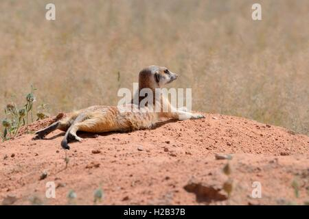 Meerkat (Suricata suricatta), adult lying on a sandy mound, attentive, Kgalagadi Transfrontier Park, Northern Cape, - Stock Photo
