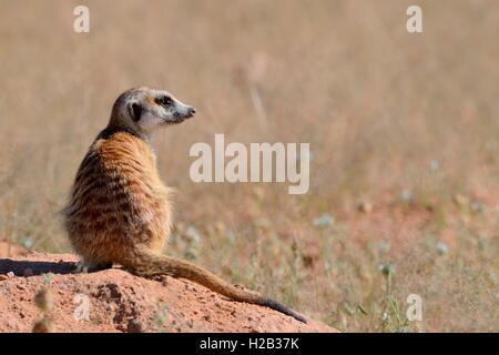 Meerkat (Suricata suricatta), adult sitting on a sandy mound, attentive, Kgalagadi Transfrontier Park,Northern Cape,South - Stock Photo