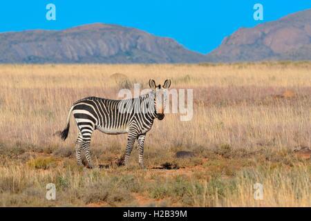 Cape Mountain Zebra (Equus zebra zebra), male standing in the dry grass, Mountain Zebra National Park, Eastern Cape,South Africa