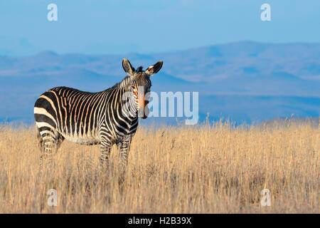 Cape Mountain Zebra (Equus zebra zebra), standing in the dry grass, Mountain Zebra National Park, Eastern Cape, - Stock Photo