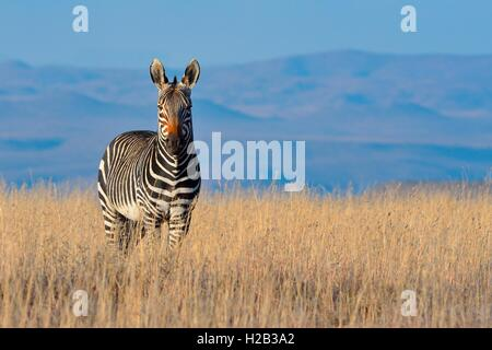 Cape Mountain Zebra (Equus zebra zebra), standing in the dry grass, Mountain Zebra National Park, Eastern Cape, South Africa, Africa