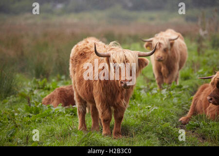 Highland cattle at Alverstone on the Isle of Wight - Stock Photo