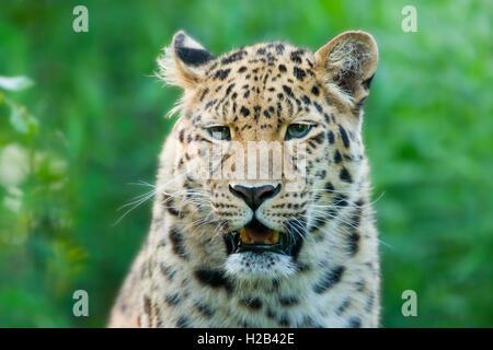 Far Eastern or Amur leopard (Panthera pardus orientalis), portrait, captive, Germany - Stock Photo