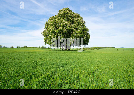 Horse-chestnut or conker tree (Aesculus hippocastanum) flowering, group of trees in grain field, Thuringia, Germany - Stock Photo