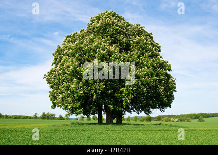 Horse-chestnut or conker tree (Aesculus hippocastanum) flowering, group of trees in grain field, Hötzelsroda (Eisenach) - Stock Photo