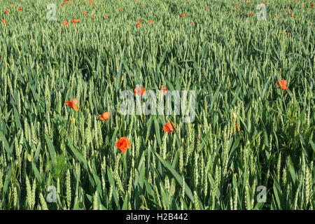 Field of common wheat (Triticum aestivum) with common poppies (Papaver rhoeas) in between, Heidelberg, Baden-Württemberg - Stock Photo