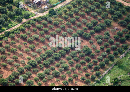 Olive trees in plantation, aerial view, San Vito Lo Capo, Sicily, Italy - Stock Photo