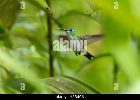 Andean emerald (Amazilia franciae), hummingbird in flight, Mindo Nambillo Cloud Forest Reserve, Pichincha, Ecuador - Stock Photo