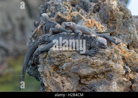 Galápagos marine iguanas (Amblyrhynchus cristatus) lying on top of each other on lava rock, Isabela Island, Galápagos, - Stock Photo