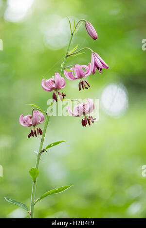 Turk's cap or martagon lily (Lilium martagon), Hesse, Germany - Stock Photo