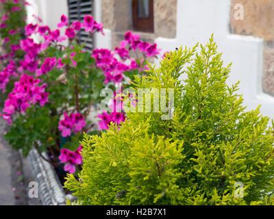 Thuja and pelargonium on the white wall background - Stock Photo