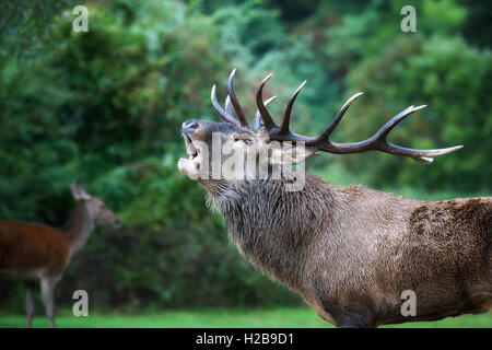 Closeup of a male specimen of deer in love. The animal with the majestic antlers on the head when bellow is the - Stock Photo