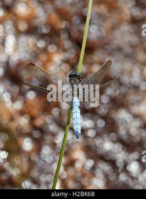 Keeled Skimmer dragonfly perched on reed. Thursley Common, Surrey, England. - Stock Photo