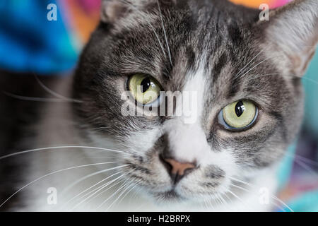 House cat portrait, looking at camera - Stock Photo