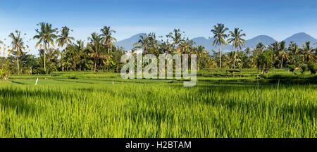 Indonesia, Bali, Susut, rice growing in fields wih western volcanoes (Gunung Batukaru, Leson, Pohen, Tapak, Catur) - Stock Photo