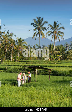 Indonesia, Bali, Payangan, Susut, tourists in rice fields wih western volcanoes in distance - Stock Photo