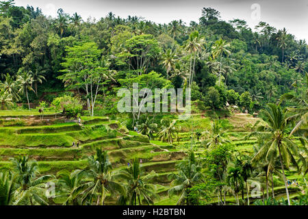 Indonesia, Bali, Tegallang, tourists walking on attractive rice terraces - Stock Photo