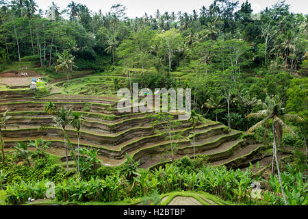 Indonesia, Bali, Tegallang, attractive rice terraces on steep hillside - Stock Photo