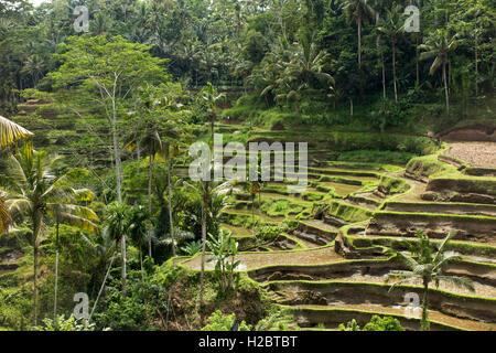 Indonesia, Bali, Ubud, Tegallang, attractive rice terraces on steep hillside - Stock Photo