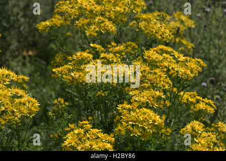 Yellow ragwort, Jacobaea vulgaris, flowering plant on Hungerford Common, Berkshire, August - Stock Photo