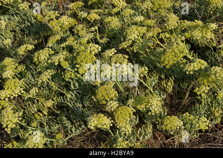 Rock samphire, Crithmum maritimum, flowering on the coasat at Isola Rossa in western Sardinia, September - Stock Photo