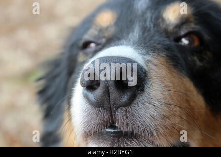 Close up dogs nose - Stock Photo