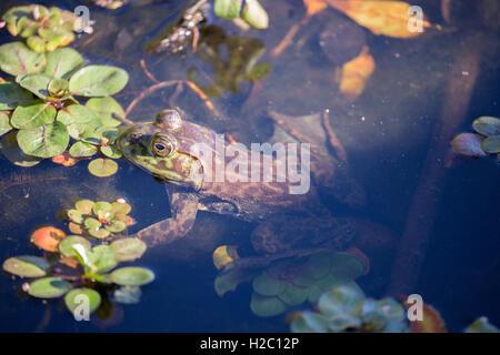 American Bullfrog - Lithobates catesbeianus, camouflaged - Stock Photo