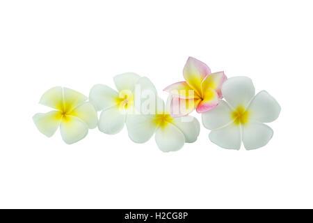 Plumeria flowers isolated on white background - Stock Photo