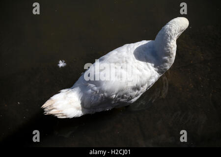white swan, animal, wild, swan, feather, blur, portrait, scene, bird, foot, peace, nib, swimming, orange, olor, - Stock Photo