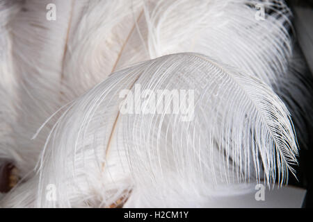 White ostrich feathers or plumes against dark background. Play of light and shadows. Feather seems to be very lightweight - Stock Photo