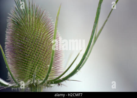 A close up macro photo of a thistle on a white and grey blurred background. - Stock Photo