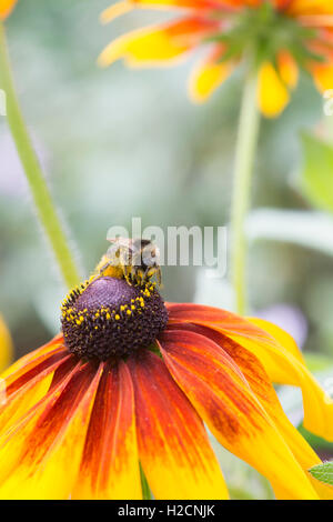 Bombus lucorum. Bumble Bee covered in pollen feeding on a Rudbeckia flower - Stock Photo